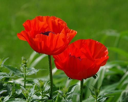 red poppy flowers in interior decorating