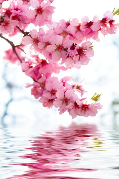 The cherry blossoms are in full bloom! Nothing soothes my soul more than a beautiful flower.