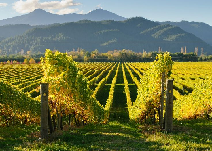The Central Otago region is famous for its Pinot Noir, we'll be sure to sample some! #NewZealandwalkingtours #WalkingNewZealand #NewZealandVacations