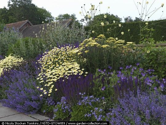 Blue and yellow themed border of Geranium Rozanne, Salvia nemorosa Ostfriesland + S. superba Superba, Nepeta Walkers Low, anthemis, Cephalaria gigantea, Achillea Credo