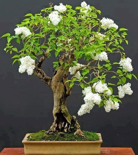 """The word bonsai is derived from two Chinese characters, meaning a tree planted in a shallow container. The word is pronounced """"bone-sigh""""."""