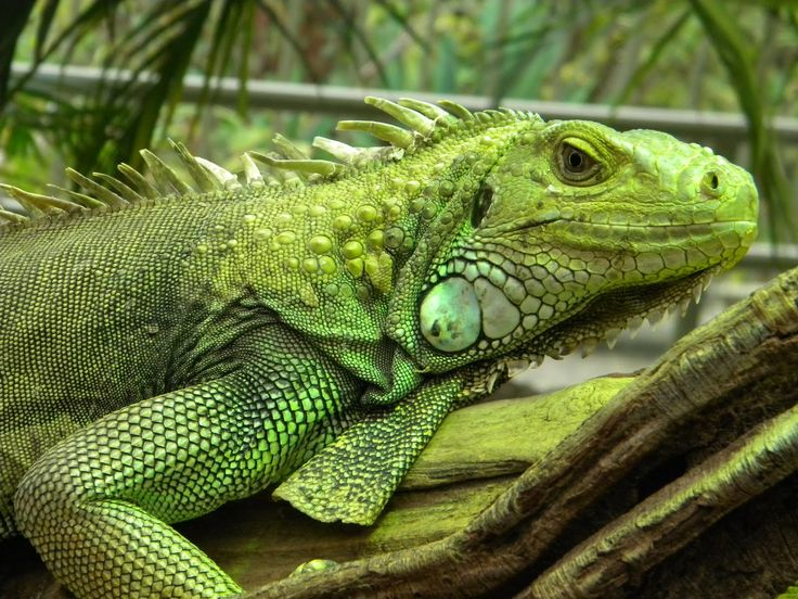 iguana cages   Best Pets Blog: Your Iguana Cage, What to Consider