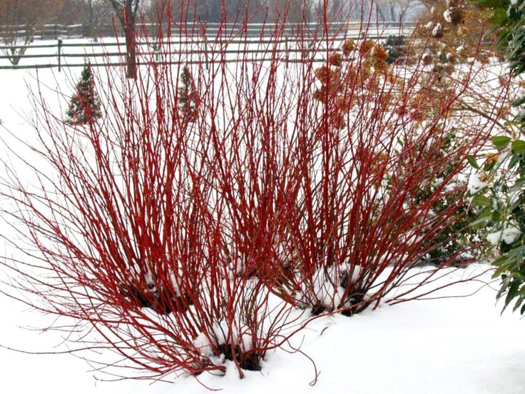 Red Dogwood is an excellent choice if you want to create some interest in the garden during snowy winter months.  Google Image Result for http://www.provenwinners.com/sites/provenwinners.com/files/imagecache/low-resolution/ifa_upload/cornus_arctic_fire_farrow_121310.jpg