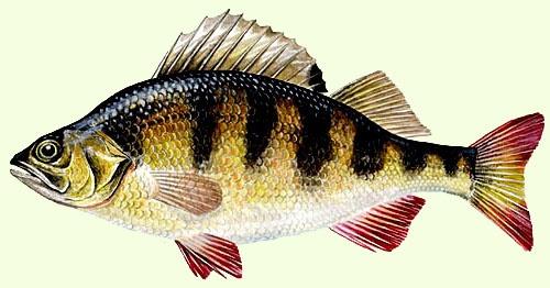 Google Image Result for http://www.fiskeklubben-alcedo.se/abborre.jpg
