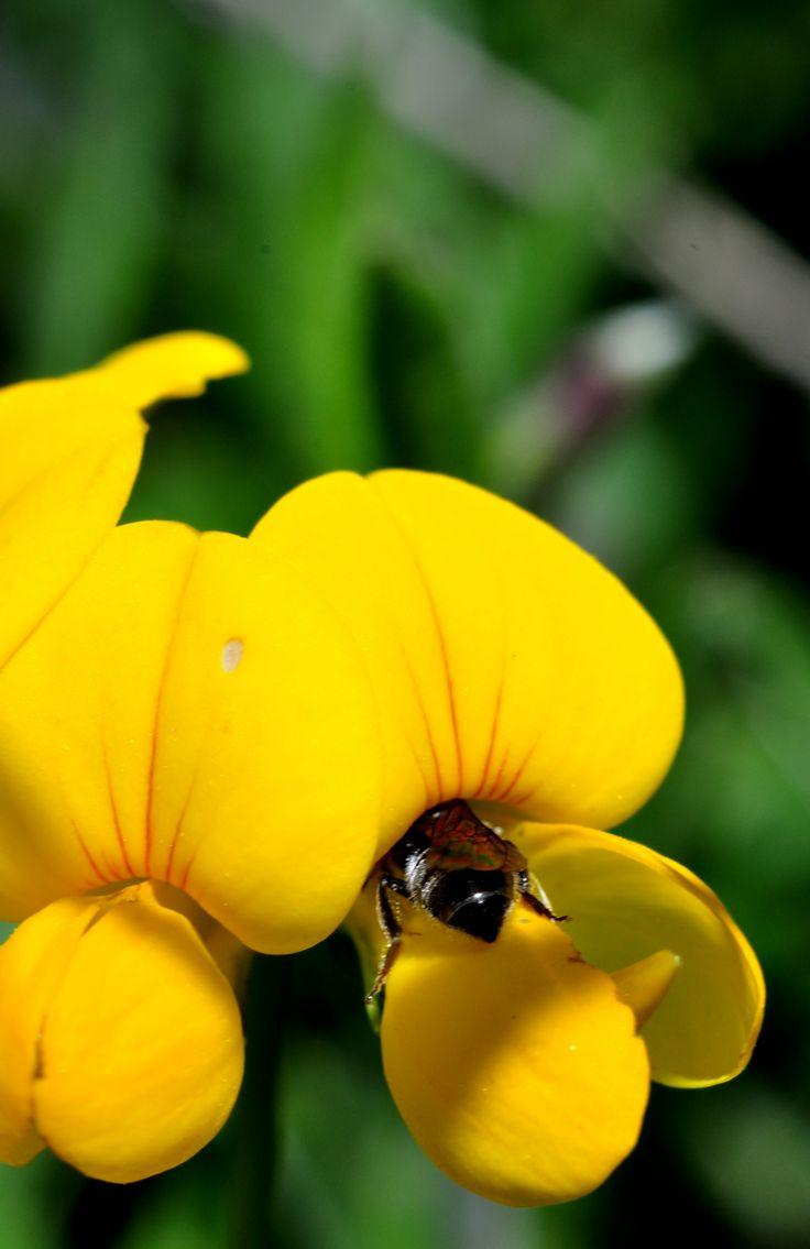 Libando polen