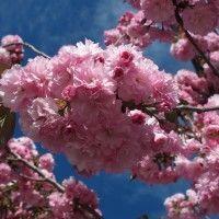 Les cerisiers du Japon, ou cerisiers à fleurs, sont des arbres ou arbustes à feuillage caduc et qui se couvrent au printemps de fleurs blanches ou roses. Découvrez tous nos conseils pour bien les planter, les tailler et les entrenir !