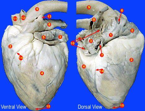 Sheep heart dissection | Biomed | Pinterest | Heart, Sheep ...