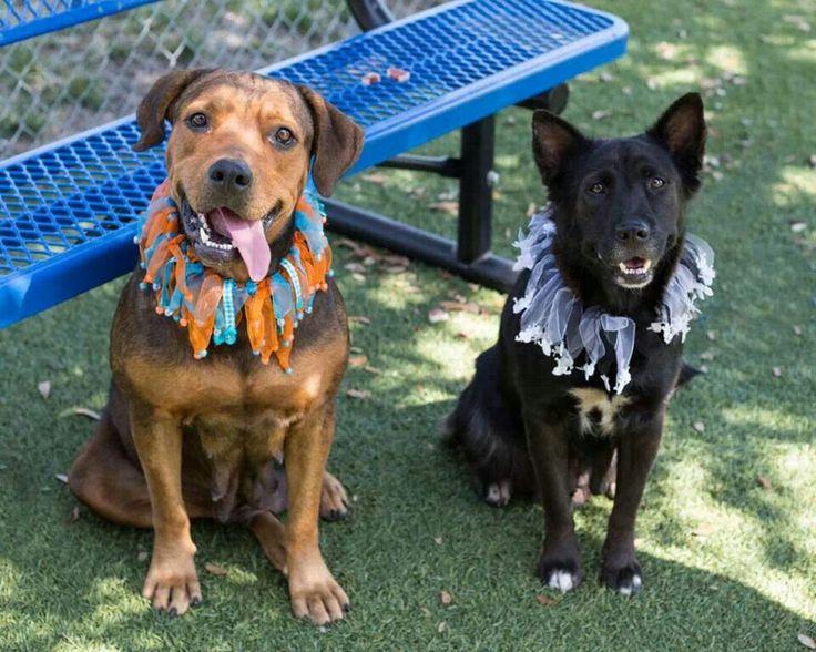 Rottweiler Dog For Adoption In Orlando Fl Adn 674662 On Puppyfinder Com Gender Male Age Adult Dog Adoption Rottweiler