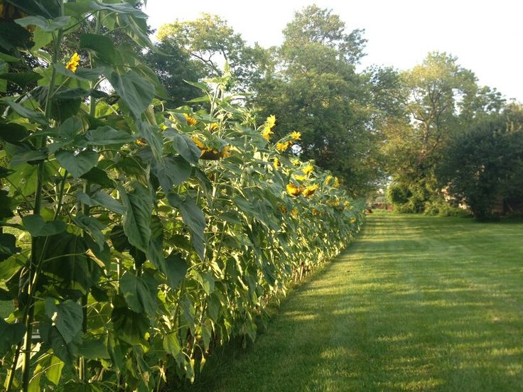 Sunflower Fence Provides Great Privacy And A Border For
