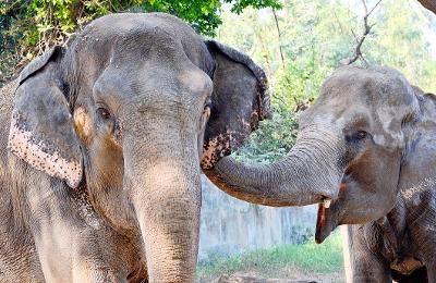 A male elephant calf was found dead in Singara range of forests near Bokkapuram in the Nilgiris, on Tuesday.