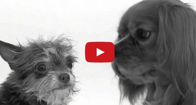 "That ""First Kiss"" video was remade with dogs and it's a vast improvement"