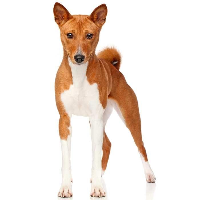 Basenji Dog Breeds Pictures Dog Breeds Basenji Dogs