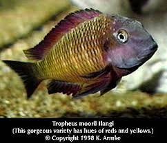 Image result for tropheus moori