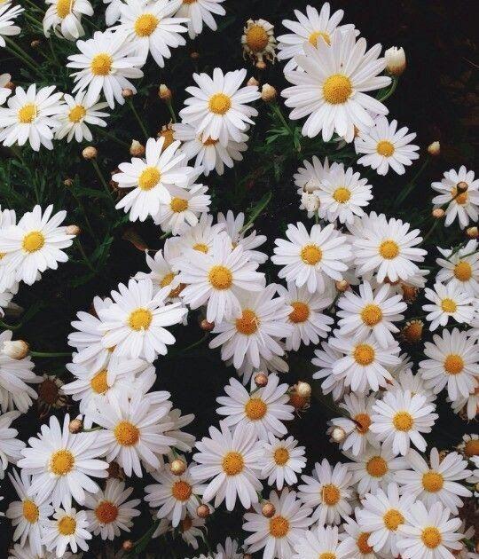 Bunga Daisy Putih Wallpaper