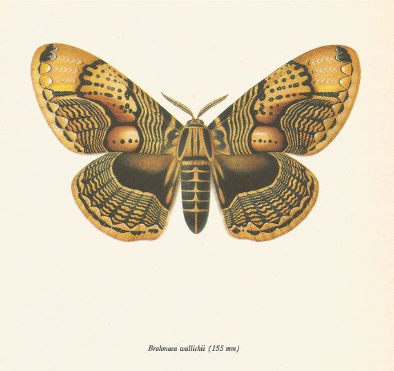 Hey, I found this really awesome Etsy listing at https://www.etsy.com/listing/198448723/vintage-moth-print-intricately-patterned