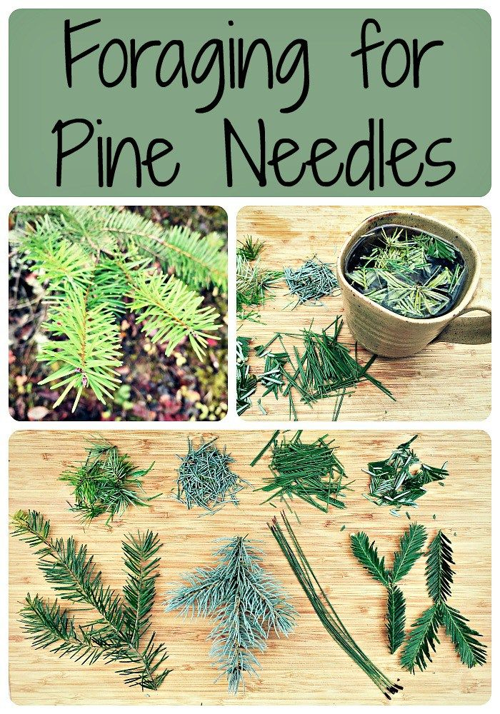 Foraging for Pine Needles ~ Don't Forget the Pine Needle TEA