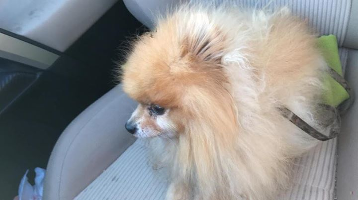 Is This Your Dog Saint Paul Pomeranian Male Date Found 12 15