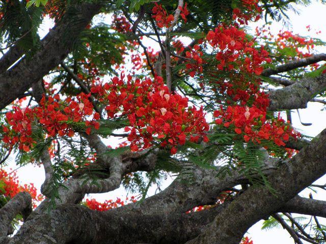 Flamboyant Tree (Delonix regia)  Image
