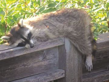 Thornhill resident frustrated by sick racoon problem