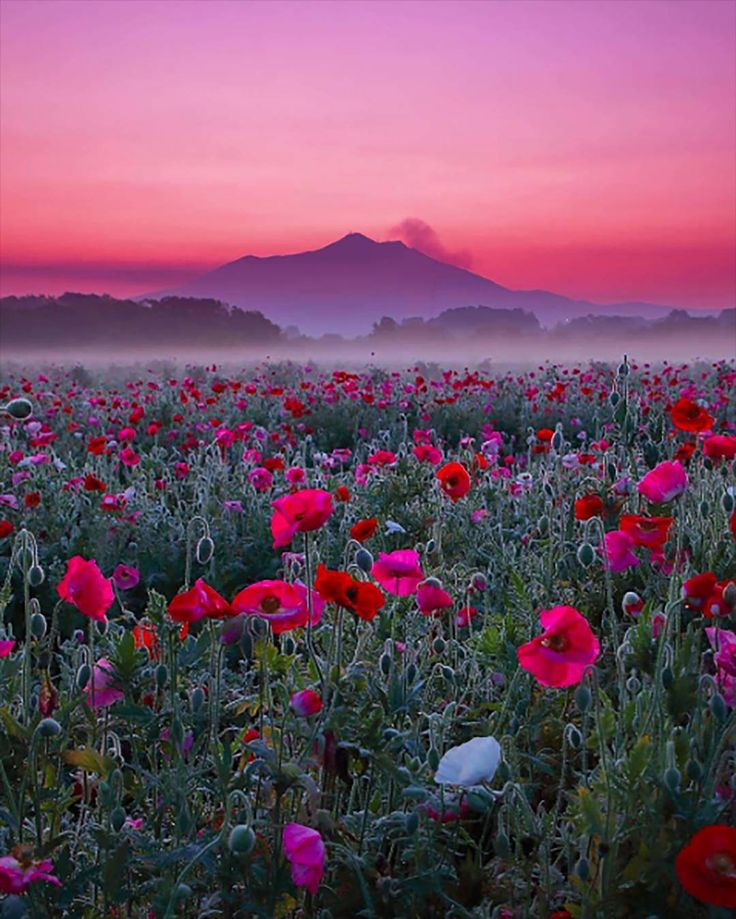 Purple Mountain Majesty (w poppies in the foregrou…