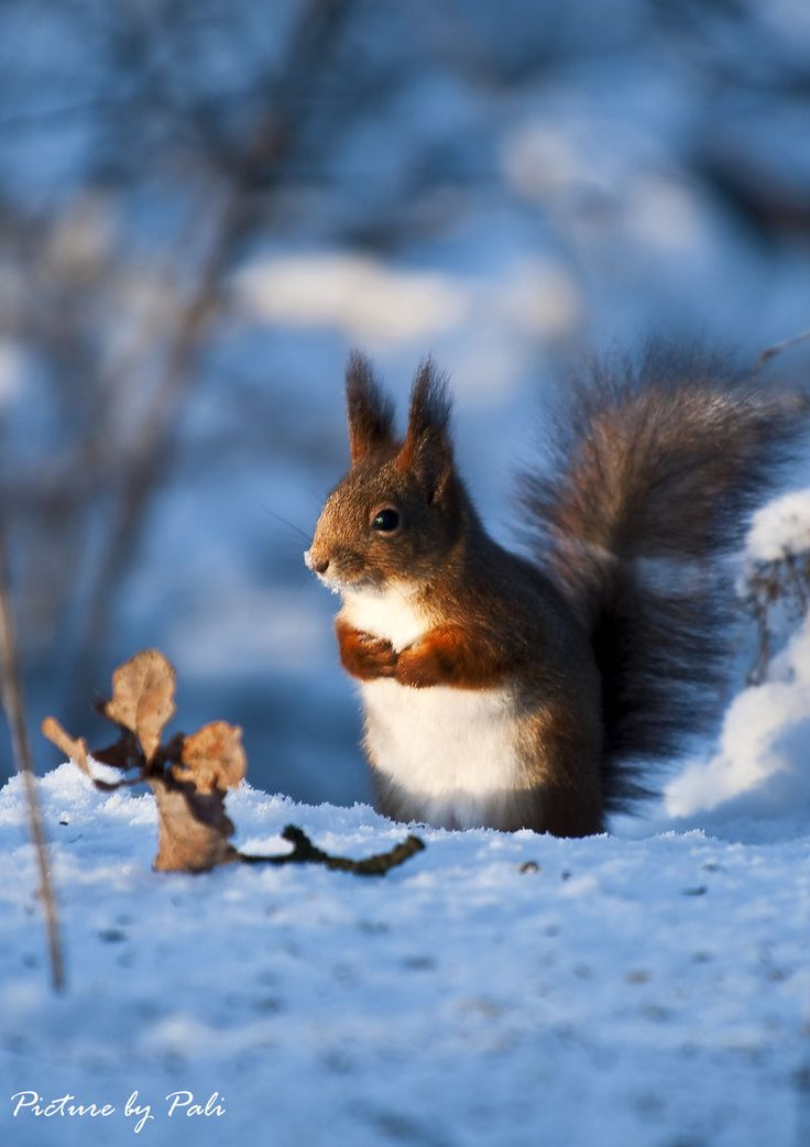 "Red Squirrel:  ""Against Blue Hues...""                (By: PictureByPali.)"
