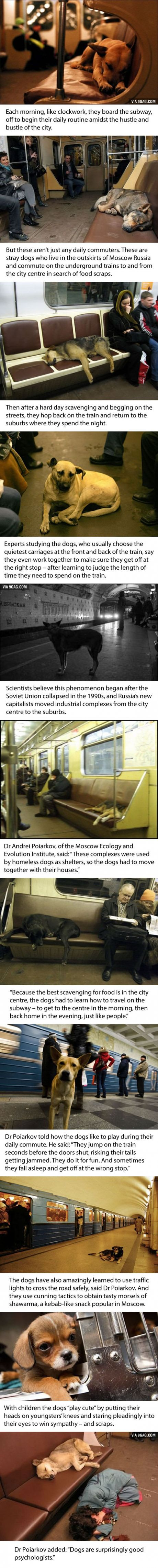 Dogs in Russia this phenomenon about how these animals travel and scrap for food is amazing. Dog Psychology