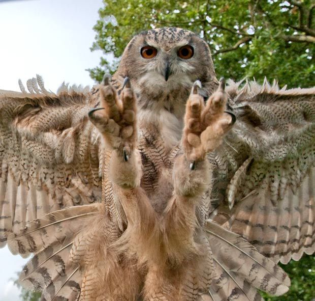 Impressive Talons. Eagle Owl. This is the moment just before an eagle owl swoops in for the kill.