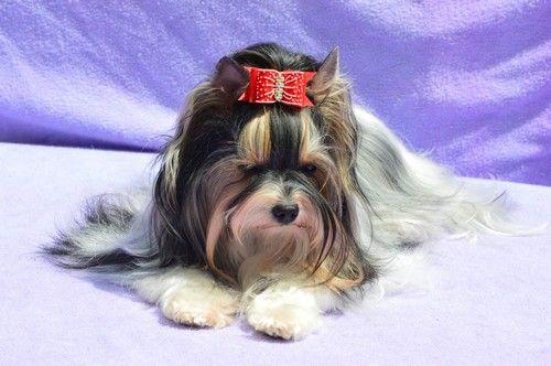 Biewer-york-terrier   Biewer- Angelina Abey Verodiass Star