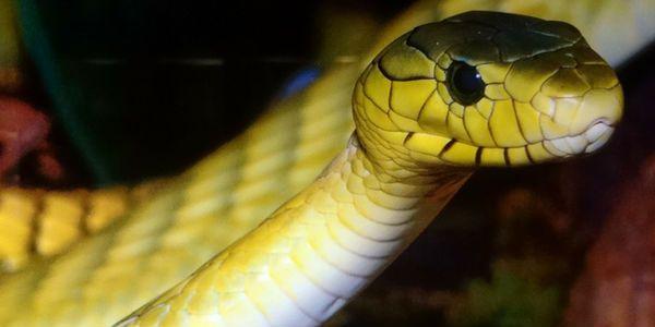 Sonhar Com Cobra Amarela Sonhar Com Cobras Especies De Cobras
