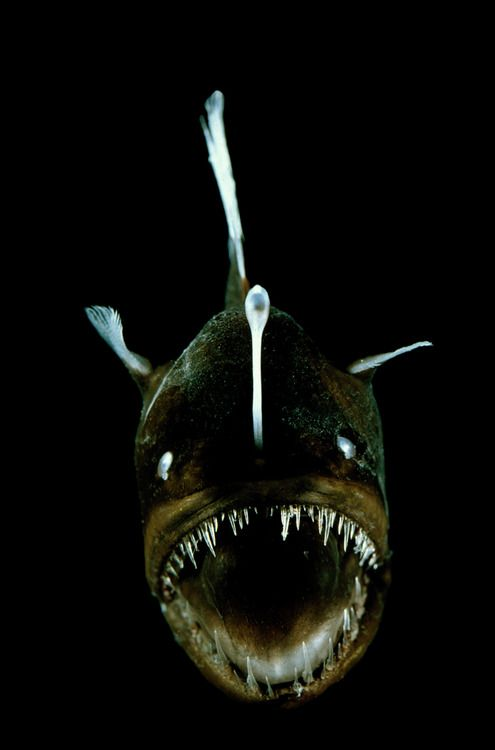 268 best images about basically bioluminescence on for What do angler fish eat