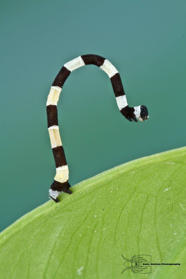 Geometrid caterpillar from Colombia