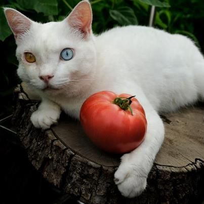 Fukumaru keeping a watchful eye on the tomato