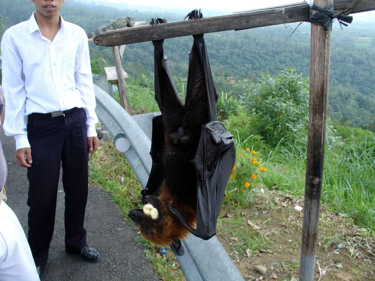 La Roussette de Malaisie, la plus grande chauve-souris au monde - http://photomonde.fr/la-roussette-de-malaisie-la-plus-grande-chauve-souris-au-monde/