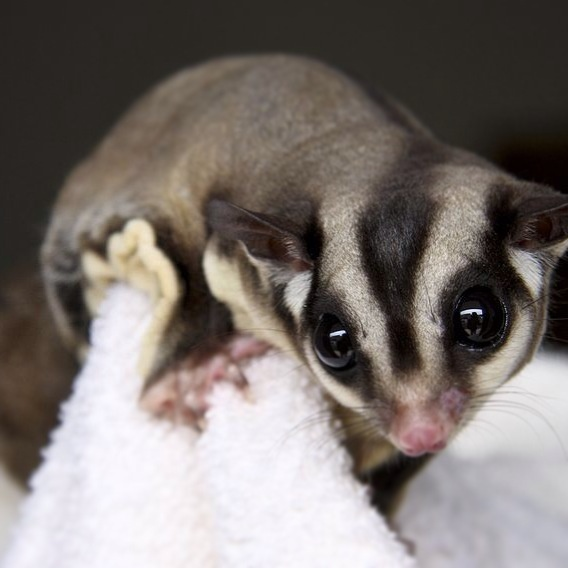 What Foods Can Sugar Gliders Eat