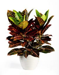 Houseplant care information on colorful Croton plants. Codiaeum plant care. Croton plant is green, yellow, red and orange colored, also called Joseph's Coat. Watering, lighting and ...