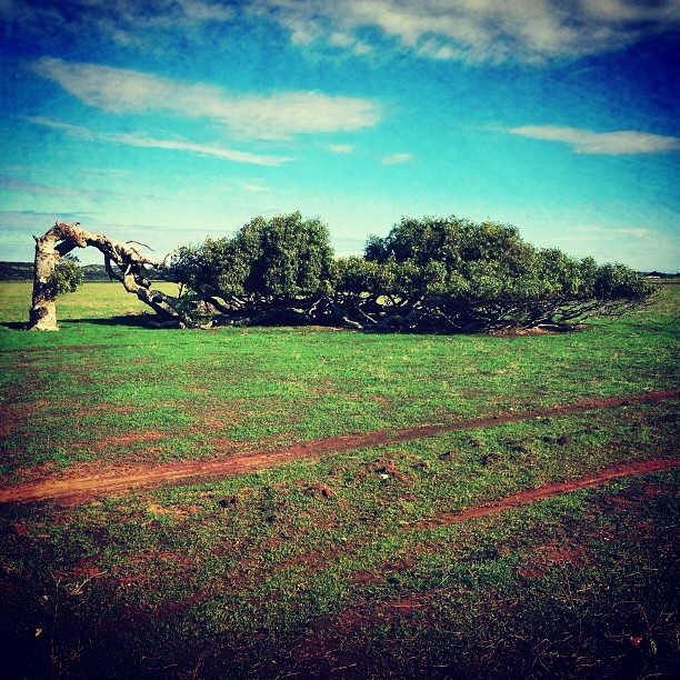 Here's the famous leaning tree outside Gero!☀ #leaningtree #geraldton #wa #australia