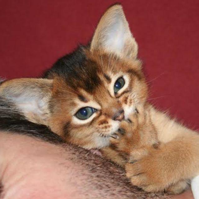 Retrouvez le bel élevage d'ABYSSIN dans la CHATTERIE KITSUNE. Des petits chats très calins vous attendent sur Eleveurs & Pedigree.