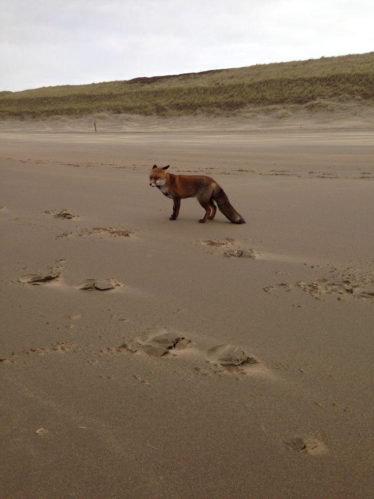 Vosje op het zuid strand