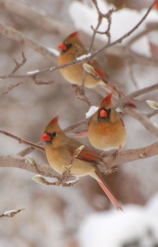 29 best images about places to visit on pinterest bird - Pictures of cardinals in snow ...