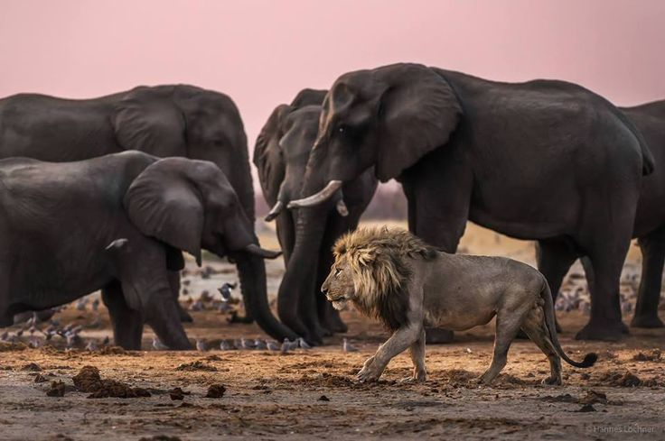 In the dry season, every animal needs to drink water. During this time of year, the predators take advantage of the weaker and smaller animals. Here a big male lion walks past a small elephant herd, making sure to safely keep his distance. Photo by Hannes Lochner