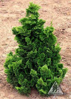 nana gracilis, dwarf hinoki false cypress. 6' tall. Needs some protection from full afternoon sun.