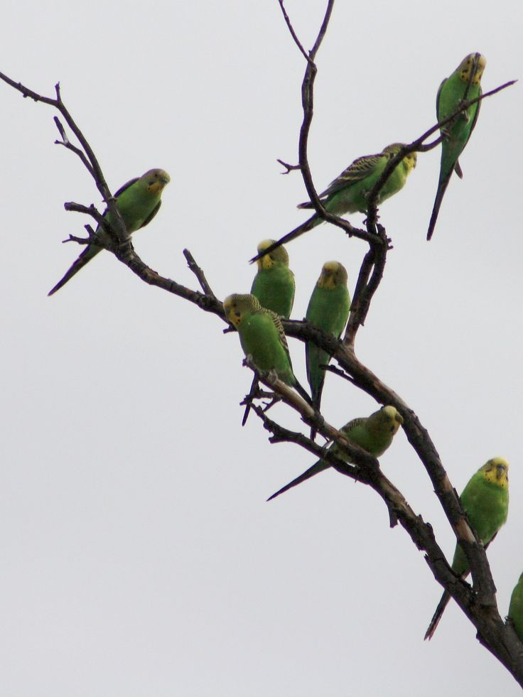 Budgerigars are highly sociable animals - everything is done in large numbers.