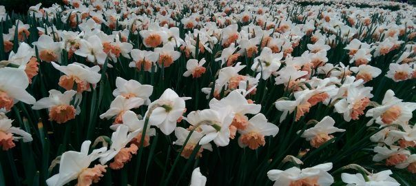 Daffodil Gardens and Events for 2017 - Pumpkin Beth