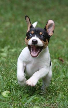 "Rat Terrier puppy, ""Traveler"" 6 weeks old"