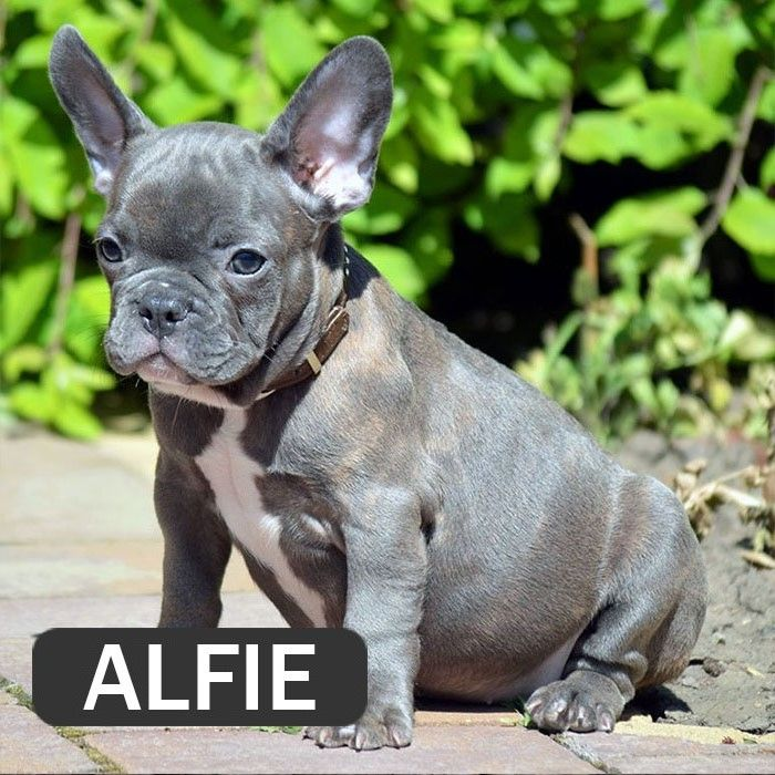 381644799547 French Bulldog Breed Bulldog Breeds French