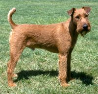 Irish Terrier Dog Breed