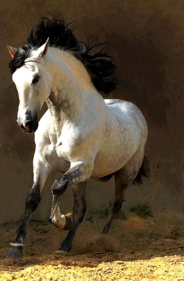 I love a white horse (yes TECHNICHALLY  dapple gray...but...my pin, I choose the color, so there. Nyaah!!)  with a black mane, tail and points.
