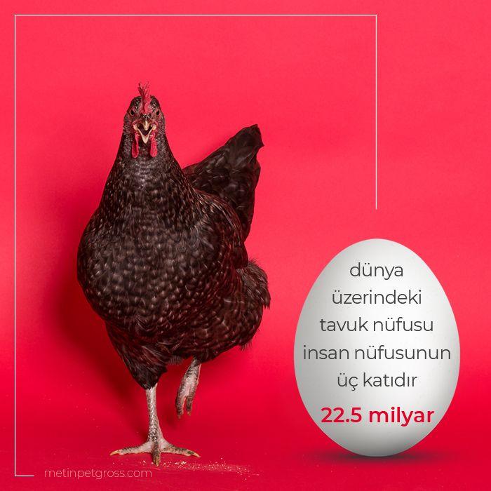 Dünya üzerindeki tavuk nüfusu insan nüfusunun tam üç katıdır. 22.5 milyar tavuk.    #tavuk #chicken #kittens #animallover #animal #instagood #hayvansevgisi #instalike #prilaga #Turkey #ilginçbilgiler #doğa #nature