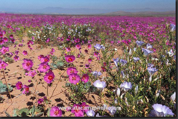 Photo: blooming Atacama Desert in Chile