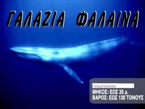 Ζώα & Ψάρια της Θάλασσας - Γαλάζια Φάλαινα